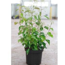 Hedera helix Plant - Arborescens