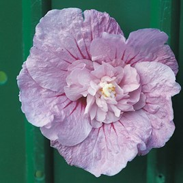Hibiscus syr. Plant - Lavender Chiffon Noble