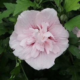 Hibiscus syriacus Plant - Pink Chiffon®