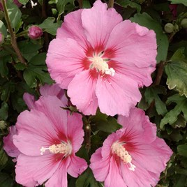 Hibiscus Syr. Pink Giant