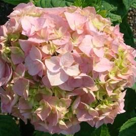 Hydrangea m. Plant - Bouquet Rose