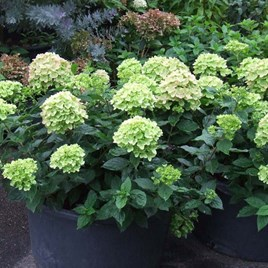 Hydrangea paniculata Plant - Little Lime®