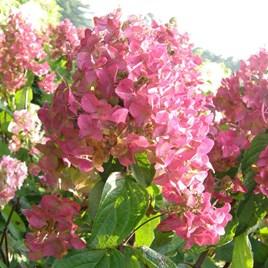 Hydrangea paniculata Plant - Mega Mindy®