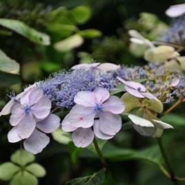 Hydrangea serrata Plant - Bluebird
