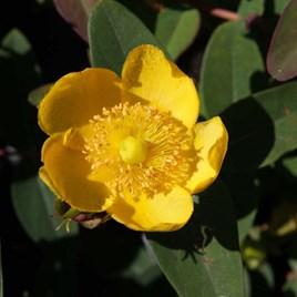Hypericum dummeri Plant - Peter Dummer