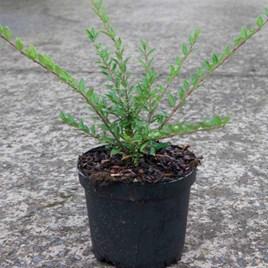 Lonicera pileata Plant