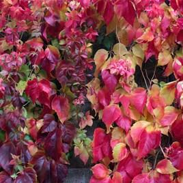 Parthenocissus henryana Plant 2 Litre Pot x 1
