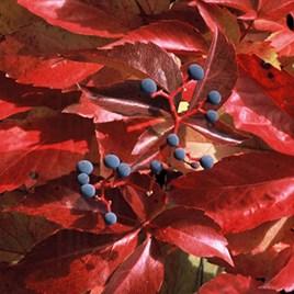 Parthenocissus tricuspidata Plant - Green Spring