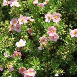 Potentilla F. Lovely Pink