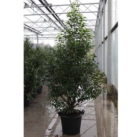 Prunus Nipponica Brilliant