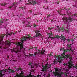 Rhododendron (AJ) Plant - Amoena