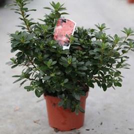 Rhododendron (AJ) Plant - Hino Crimson