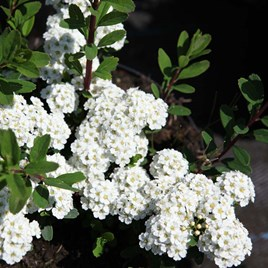 Spirea Nipp White Carpet