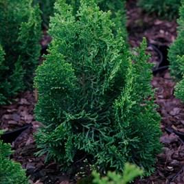 Chamaecyparis o. Plant - Meroki Twin