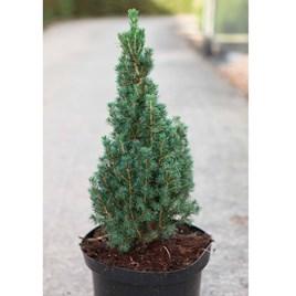 Picea Glauca Zuckerhut