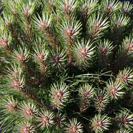 Pinus Nigra Pierrick Bregeon (Brepo)