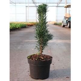 Taxus baccata Plant - Fastigiata Robusta