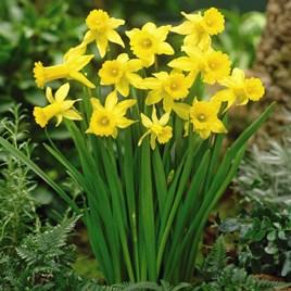 Daffodil Bulbs - Peeping Tom