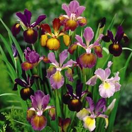 Iris Bulbs - Metallic Mixture