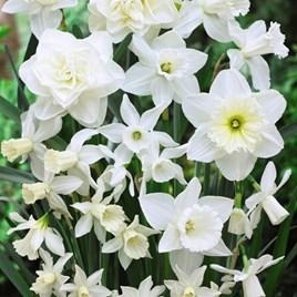 Daffodil Bulbs -  White Diamonds Mixture