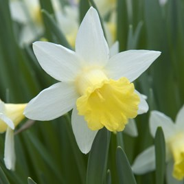 Daffodil Bulbs - Topolino