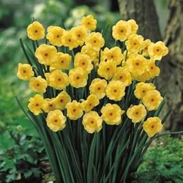 Daffodil Bulbs - Jonquilla Sundisc