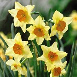 Daffodil Jonquilla Suzy 10 Bulbs