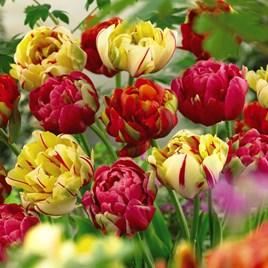 Tulip Bulbs - Colour Carnival