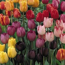 Tulip Darwin Mixed