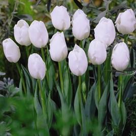 Tulip Triumph Snowstar