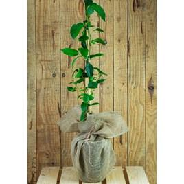 Kiwi Plant Gift