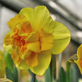 Daffodil Bulbs - Raffles