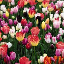 Tulip Bulbs - Triumph Mix