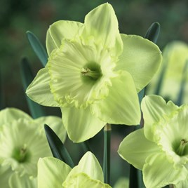 Daffodil Bulbs - St Patricks Day