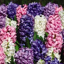 Hyacinth Value Mixed