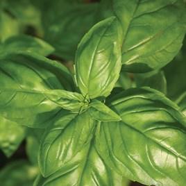 Herb - Basil Genovese