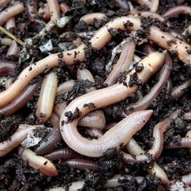 Garden Earthworms (100Approx)