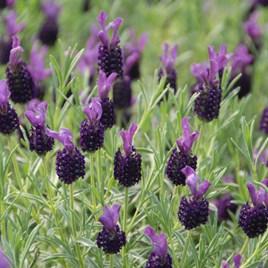 Lavender Stoechas Night Of Passion