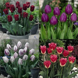 Tulip Bulb Collection