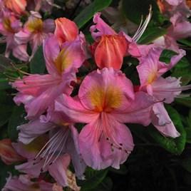 Azalea - Berry Rose