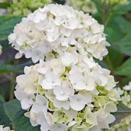 Hydrangea Endless Summer The Bride 3 Litre Pot x 1