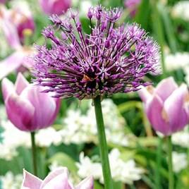 Allium Bulbs - Purple Sensation