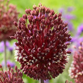Allium Bulbs - Red Mohican