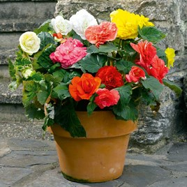 Begonia Tubers - Expresso Mixed