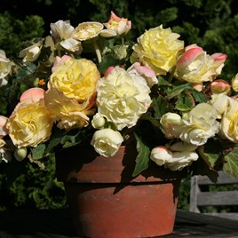 Begonia Tubers - Scented Pale Yellow(5)