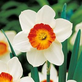 Daffodil Bulbs - Aflame (20)