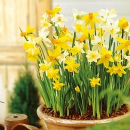 Daffodil Miniature Bulbs Mix 200