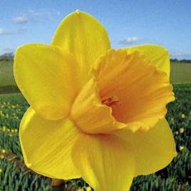Daffodil (Cornish) Bulbs - Trelawney Gold