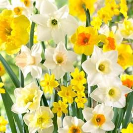Daffodil Bulbs - Large Cup Mix