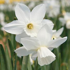 Daffodil (Cornish) Miniature Bulbs - Niveth